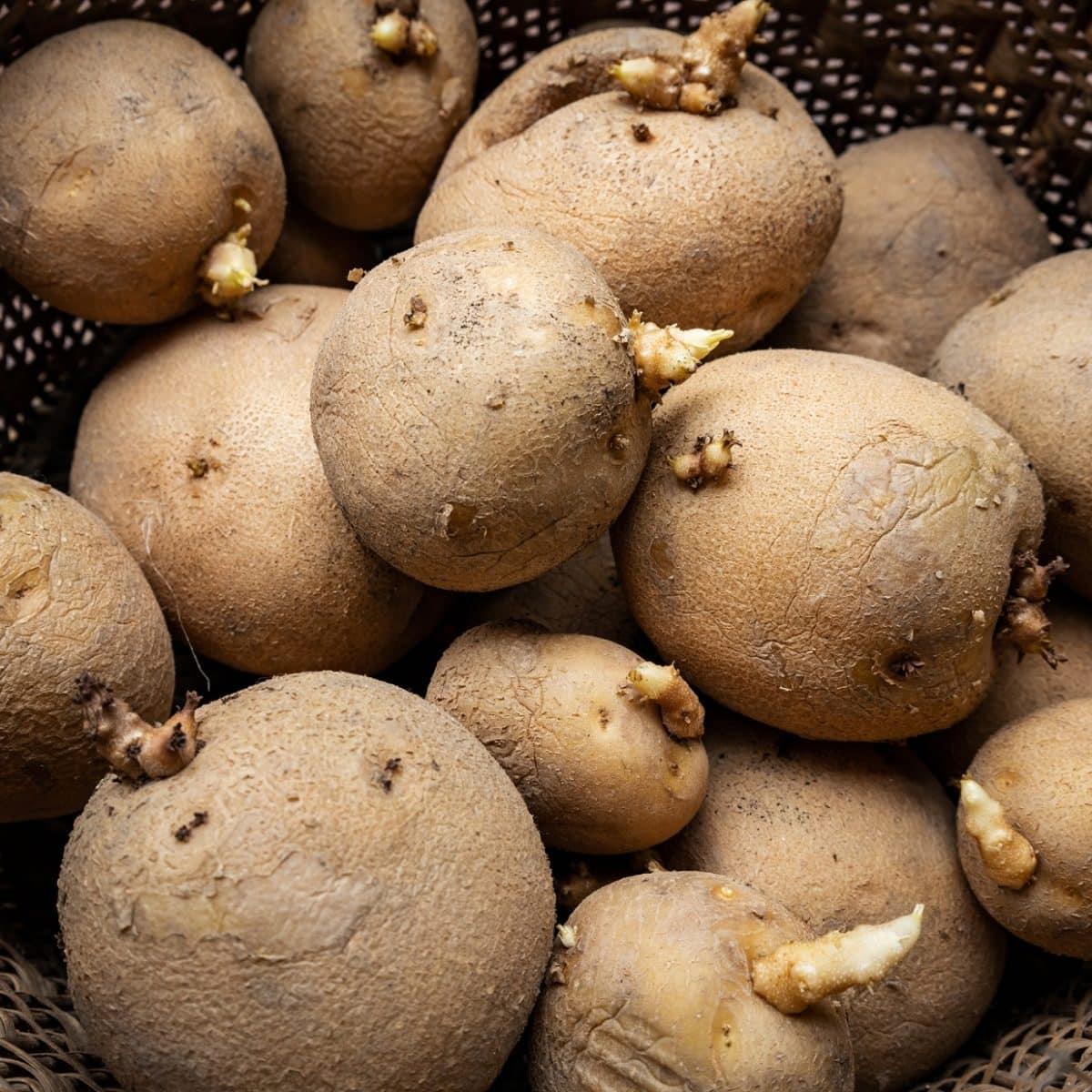 Darf man keimende Kartoffeln noch essen?
