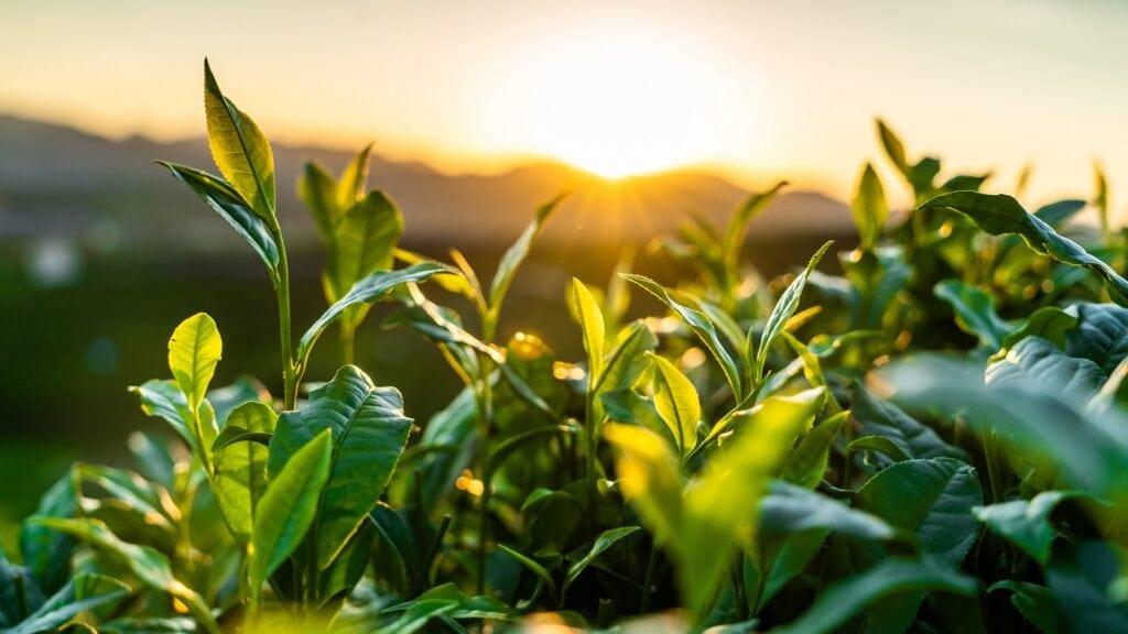 Die Geschichte des Tees beginnt bei der Pflanze: Hier ist ein Bild eines Teegartens mit den Blättern der Teepflanzen im Vordergrund und der untergehenden Sonne im Hintergrund.